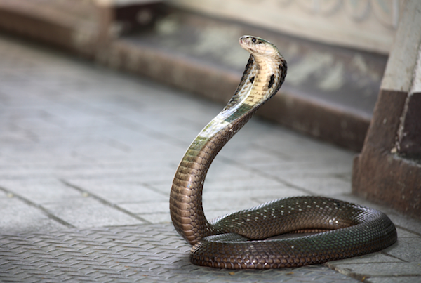 photo of a snake on the footpath staying sharp ready to bite.