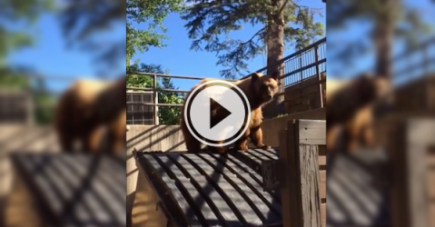 Little trash bear knows when to leave the dinner table (Video)
