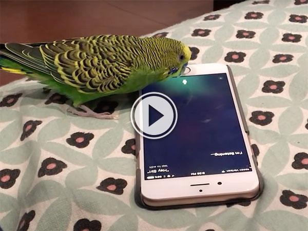 A parrot using an iPhone 6. (VIDEO)