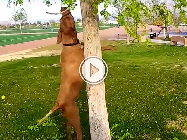 A compilation of dogs trying to get sticks off trees (Video)