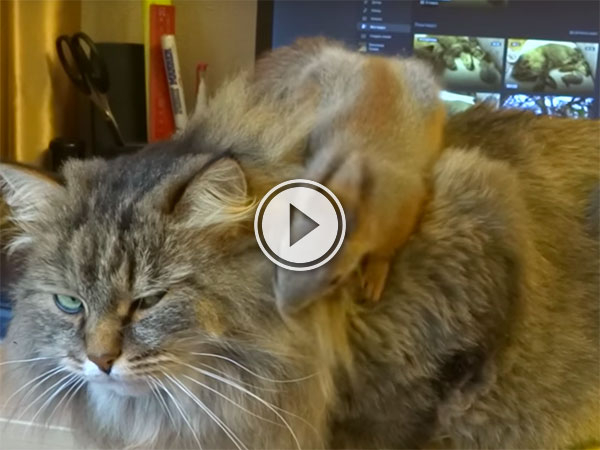 Cat unamused by playing Squirrel (Video)
