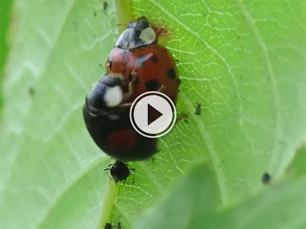 Ladybirds have public sex while slacking from work (Video)