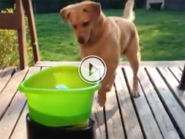 Dog plays with automatic fetch machine (Video)