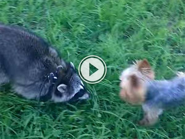 Yorkshire Terrier and Racoon play together (Video)