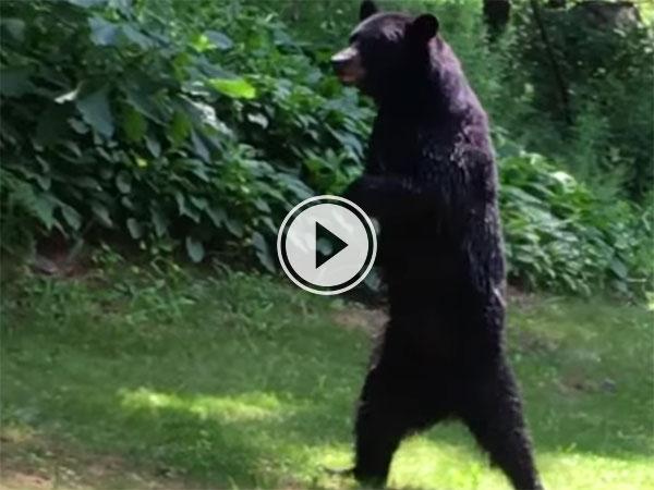 A bear walking on its hind legs (Video)
