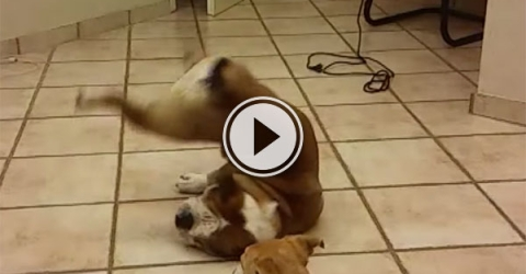 Bulldog fails spectacularly to catch ball (Video)