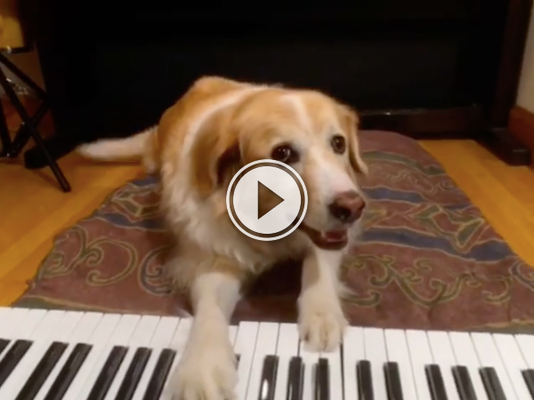 Maple the dog's practicing for his gig in the Blues bar (Video)