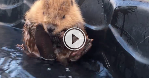 This cute little beaver is giving us the squeal feels! (Video)