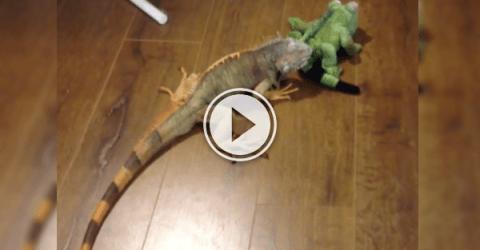 Pip the Iguana meets a stuff lizard and shit ensues! (Video)