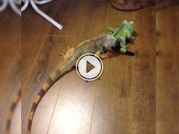 Pip the Iguana meets a stuff lizard and shit ensues! (Video)