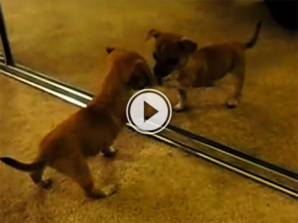 Puppies seeing themselves in the mirror compilation (Video)