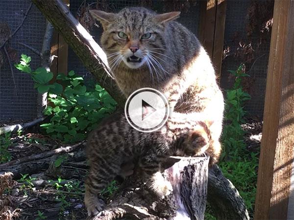 Rare Scottish Wildcat Kitten at Chester Zoo (Video)