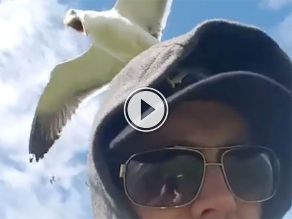 Man attacked by Scottish seagulls (Video)