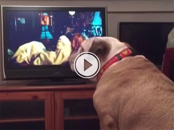 English Bulldog warns girl on TV during horror movie (Video)