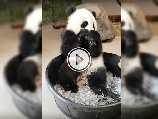Toronto's baby panda plays with ice, and we've got goosebumps! (Video)