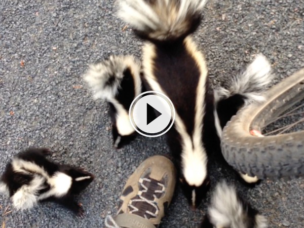 Cyclist comes across adorable family of skunks