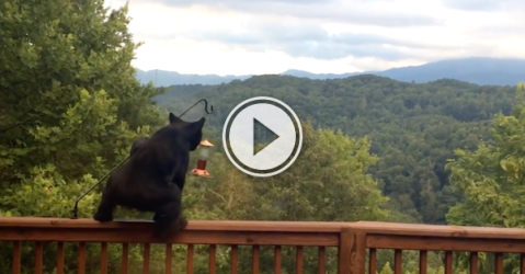 Sure, just walk right up and help yourself, Mr. Bear! (Video)