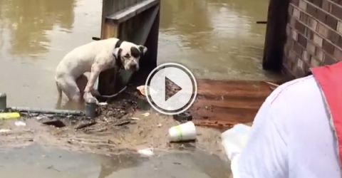 Dog gets rescued from floods in Louisiana (Video)