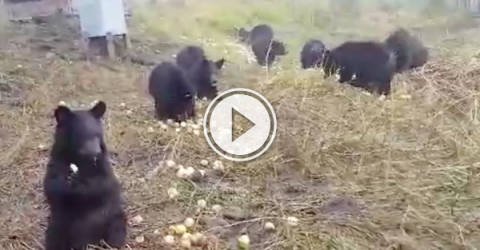 Orphaned bear cubs eating apples are powering the internet! (Video)