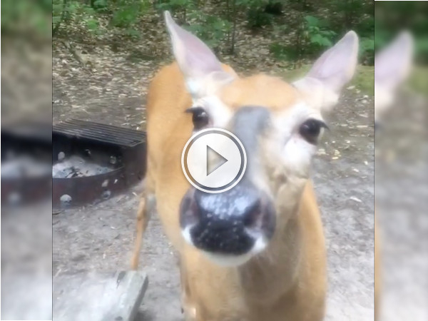 Doh! This Deer! It's so friendly, it's like a giant puppy! (Video)