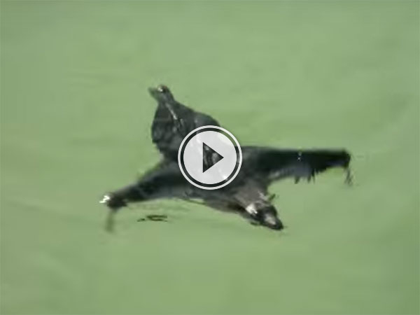 A Bat swimming in a rock pond in India (Video)