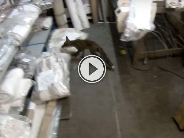 Men chase a fox around a warehouse maze (Video)
