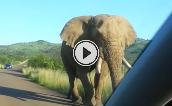 Elephant gets a little too close to car windscreen (Video)
