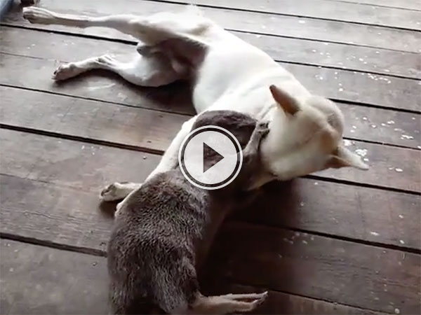 Dog and Otter play fighting is all the cute (Video)