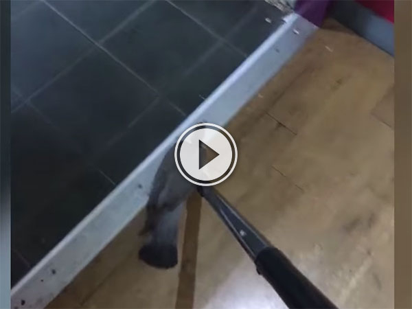 Pigeon helped to leave pub by vacuum cleaner (Video)