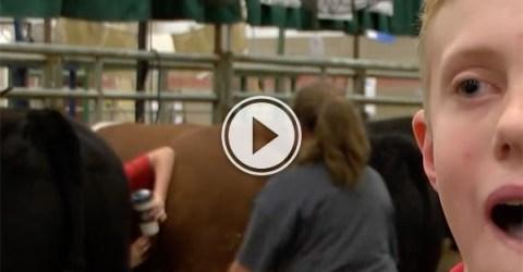 Boy gets stuck between two cows (Video)