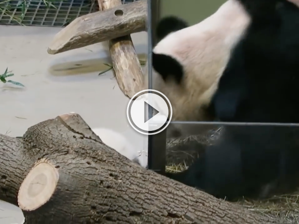 Clumsy panda cub takes a dive and mom goes to help (Video)