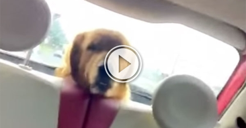 Dog can't handle car windscreen wiper (Video)