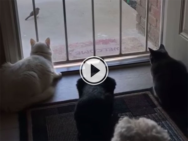 Cats focused on bird get jump scare from dog (Video)
