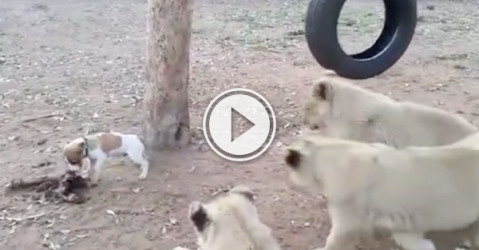 Little Jack Russell puppy thinks he's a lot bigger than he really is (Video)