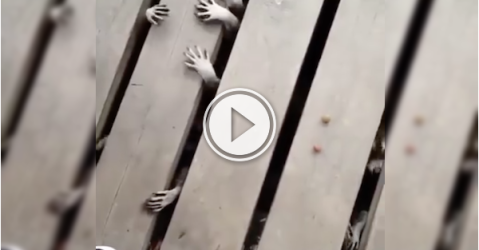 Creepy little raccoon hands are freaking me out! (Video)