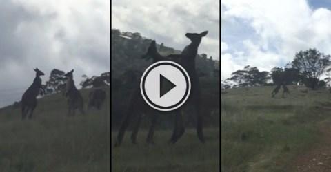Australian hilariously narrates kangaroo fight (Video)