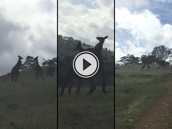 Australian hilariously narrates kangaroo fight (Video)