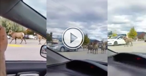 Move along it's just a traffic jam in the B.C. mountains... (Video)