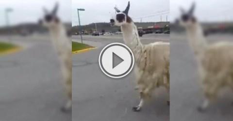 Sudbury Llama decides to exercise; takes a jog to Tim Hortons (Video)