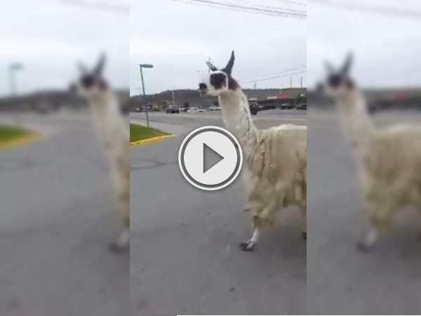 Sudbury Llama decides to exercise; takes a jog to Tim Hortons (Video)