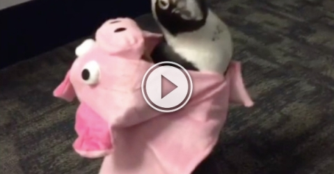 Is this a penguin in a pig suit, or pig in a tuxedo? (Video)
