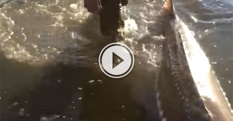 Release of a massive sturgeon into Fraser River (Video)