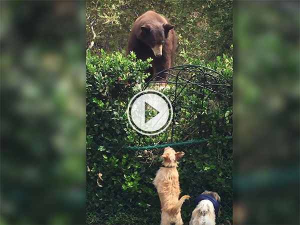 Ting dogs don't fear Grizzly bear (Video)