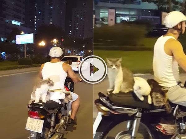 Four cats catching a ride on a moped (Video)
