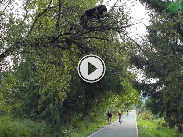 There's a bear just chilling above the route of this bike race! (Video)