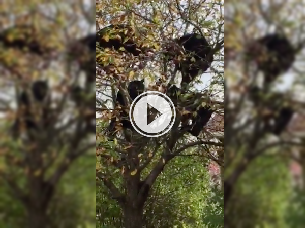 Oh this is nothing.. just a mom bear and her cubs getting some apples! (Video)