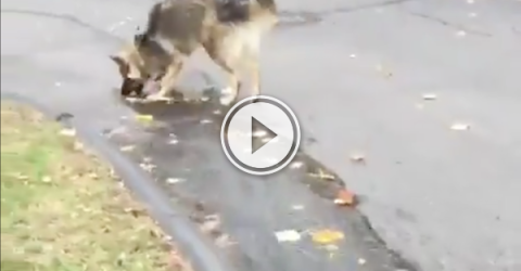 Doggo tries to prevent the water from rolling down the driveway (Video)