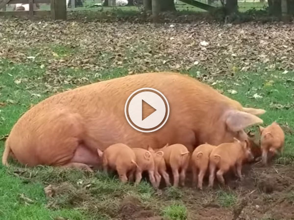 Mother Pig Gets Fed Up With Feeding Piglet (Video)