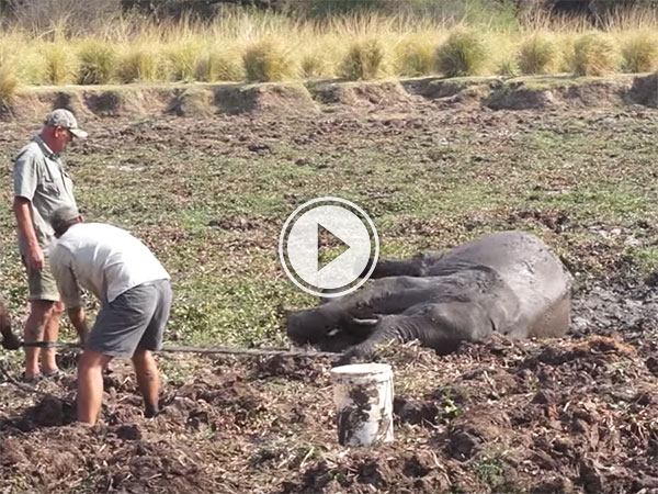 Mud stricken baby elephant turns on would be rescuers (Video)