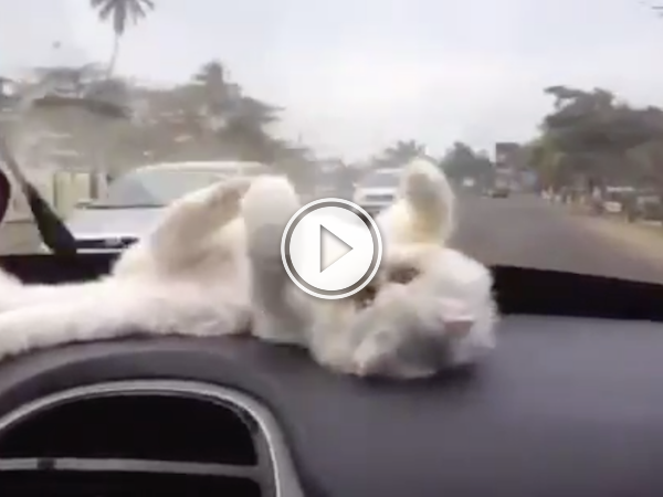 Kitty's keeping calm and watching the windshield wipers! (Video)